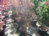 01_acer_palmatum_atrolineare-150-175cm_c35