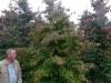 08_parrotia_persica_eisenholzbaum_400-500cm_mdb
