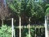 Prunus serrulata Shirofugen 25-30HO cont.