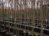 Prunus subhirtella Pendula 10-12 c30