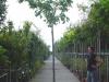 prunus serrulata shirofugen 14-16 con