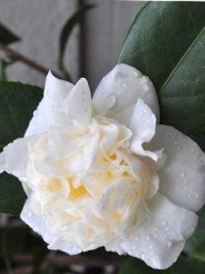 japanische kamelien camellia japonica fragen bilder pflanz und pflegeanleitungen rund um. Black Bedroom Furniture Sets. Home Design Ideas