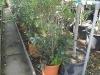 03_Osmanthus-heterophyllus-80-100-cm-c10