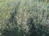 05_osmanthus-burkwoodii-100-125-cm-c20
