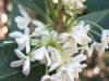 07_osmanthus-fragrans_Nahaufnahme
