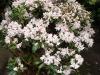 09_Rhododendron_Dufthecke_Bluete
