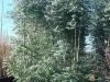 10_eucalyptus-450-500