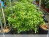 12_choisya-ternata-orangenblume_100-125-cm-c35-