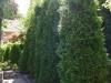 05_Thuja_Brabant_500-600cm