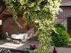 08_Kletterpflanze_Hedera_colchica_Dentata_Variegata_Buntlaubiger_Kolchischer_Efeu