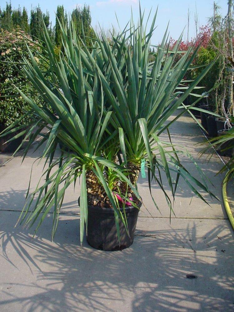 exotische pflanzen fragen bilder pflanz und pflegeanleitungen rund um das thema gartenpflanzen. Black Bedroom Furniture Sets. Home Design Ideas