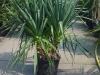 04_Yucca_gloriosa_Kerzen-Palmlilie_ Spanischer_Dolch