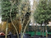 03_Albizia julibrissin Ombrella - Seidenbaum Ombrella - Seidenfaedenakazie 300-400cm mehrstaemmig