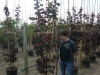 06_Cercis canadensis Forest Pansy - Amerikanischer Judasbaum Forest Pansy_250-300cm C50 mehrstaemmig