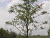 08_Gleditsia triacanthos Sunburst - Gold-Gleditschie 350-400cm_C110_mehrstaemmig