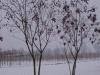 09_Koelreuteria paniculata - Blasenesche - Blasenbaum - Chinesischer Lackbaum mehrstaemmig_400-450