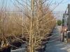 10_Liquidambar styraciflua - Amerikanischer Amberbaum - Guldenbaum mehrstaemmig_C100_350-400cm