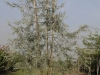12_Pyrus salicifolia Pendula - Weidenblaettrige Haenge-Birne _300-350cm_c110 mehrstaemmig