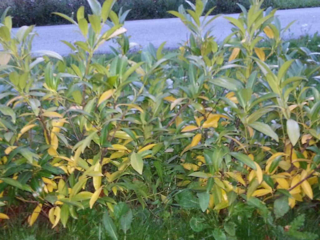 Glanzmispel Verliert Blätter kirschlorbeer herbergii bekommt gelbe blätter ursachen und