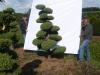 06 Gartenbonsai Juniperus chinensis 'Obelisk' Hohe 175-200 cm