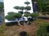 09 Garten-Bonsai Pinus mugo Hoehe 175-200 cm