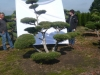11  Gartenbonsai Pinus mugo Hoehe 200-225 cm