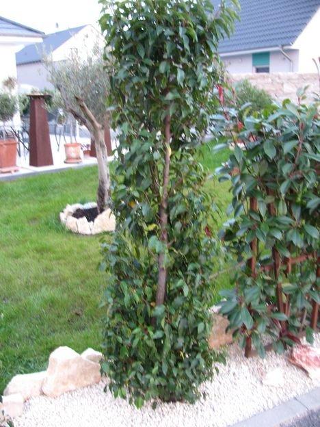 portugiesischer kirschlorbeer angustifolia gelbe bl tter nach einpflanzen tipps fragen. Black Bedroom Furniture Sets. Home Design Ideas