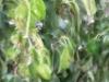 04_Prunus_Lusitanica