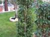 09_Prunus_Lusitanica