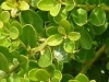 03_Ilex_Crenata_Alternative_zum_Buxus