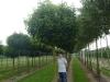 08_Acer_platanoides_Globosum_Kugel-Ahorn