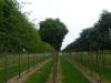 18_Quercus_palustris_Green_Dwarf_Kugelsumpfeiche