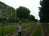 19_Quercus_palustris_Green_Dwarf_Kugelsumpfeiche