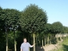 21_Prunus_ eminens_Umbraculifera_Kugel-Steppen-Kirsche