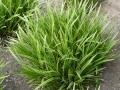 03_Carex_morrowii_variegata_Weissbunte_Japansegge