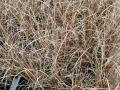 05_Carex_comans_Bronze_Neuseeland-Segge