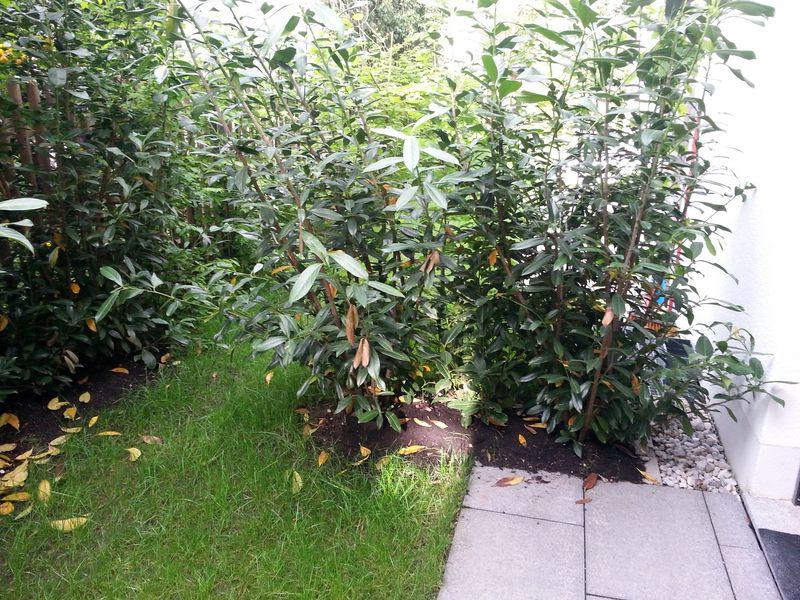 Gelbe Blatter An Kirschlorbeer Pflanzen Empfehlungen Tipps