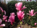 09_Magnolia soulangiana 'Heaven Scent'  Tulpen-Magnolie 'Heaven Scent'