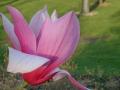 12_Magnolia 'Spectrum'  Rotblütige Magnolie