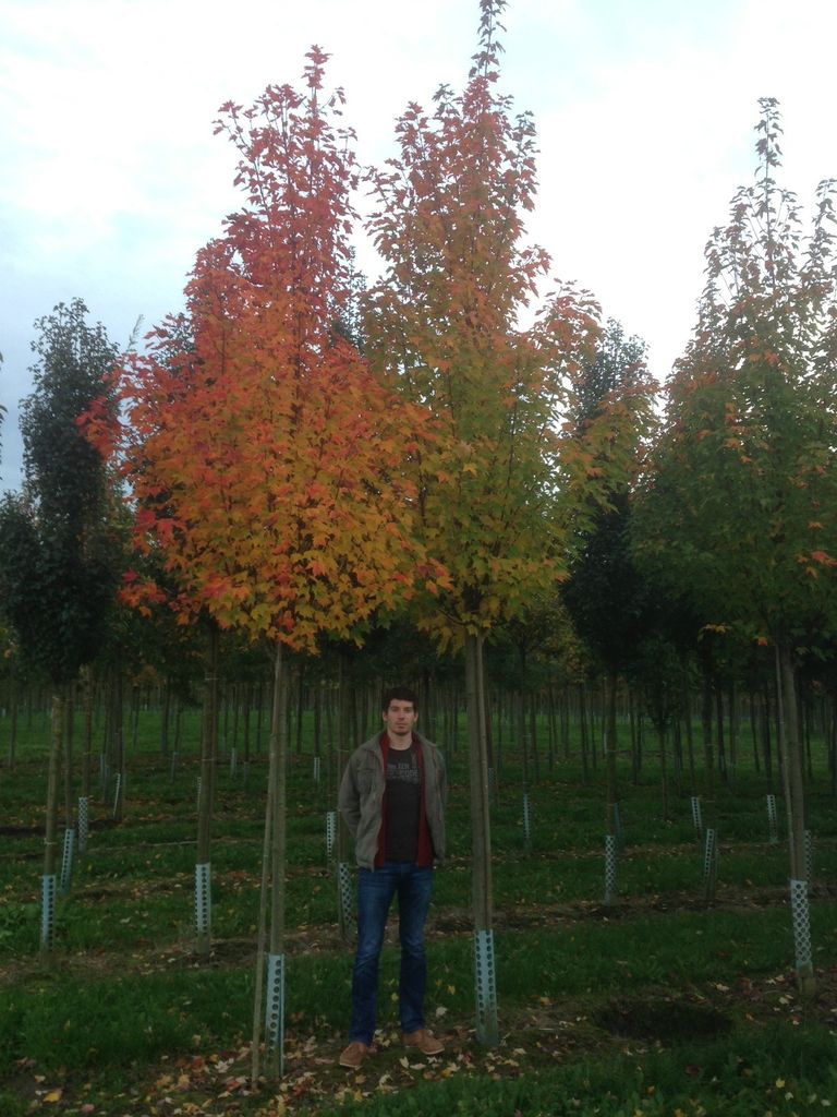 02_Acer rubrum Autumn flame  Rot-Ahorn Autumn flame