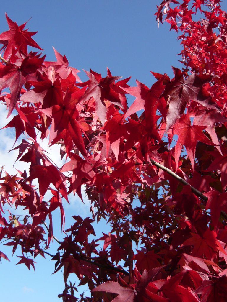 15_Liquidambar styraciflua  Amerikanischer Amberbaum  Guldenbaum