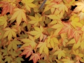 01_Acer palmatum Summer Gold Faecher-Ahorn Summer Gold