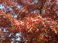 12_Quercus rubra  Rot-Eiche  Amerikanische Rot-Eiche