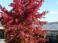 14_Liquidambar styraciflua  Amerikanischer Amberbaum  Guldenbaum