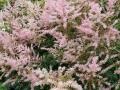 02_Bluetenstaude_Astilbe glaberrima 'Hennie Graafland'  Beet-Prachtspiere