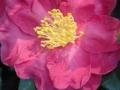 05_Camellia sasanqua  Herbst-Kamelie