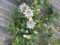 08_Passiflora caerulea  Blaue Passionsblume