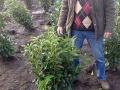 02_Kirschlorbeer_Prunus_Genolia_80-100cm