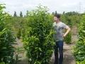 07_Kirschlorbeer_prunus laurocerasus genolia 175-200 cm mdb