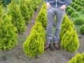 13_Lebensbaum_thuja-occidentalis-golden-smaragd-40-50-60